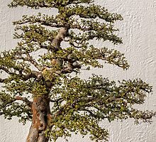 Bonsai tree by PhotosByHealy