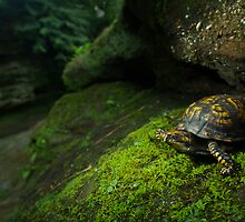 Box Turtle at Old Man's Cave by jimcrotty