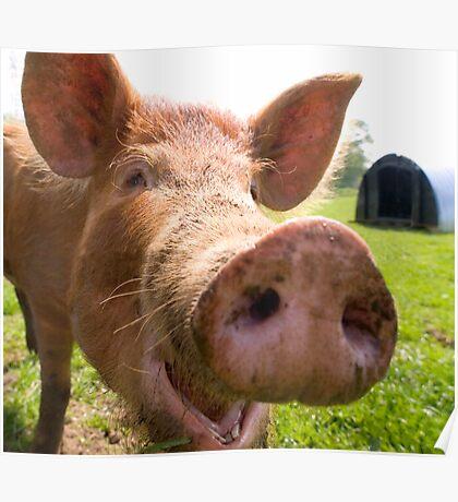 A happy Tamworth pig Poster