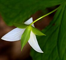 Trillium Spring by jimcrotty