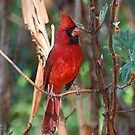 Male Cardinal Perched In The Vines by Kathy Baccari
