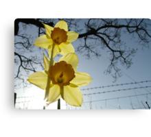 Daffodils at Sunrise Canvas Print