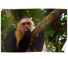 Capuchin monkey. Poster