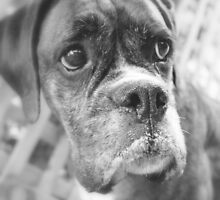 It's NOT Fair - Boxer Dogs Series by Evita