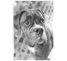 It's NOT Fair - Boxer Dogs Series Poster