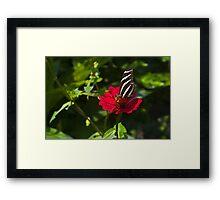 Dune Juno butterfly. Framed Print