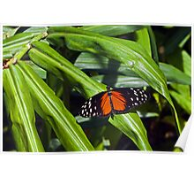 Halcionicus Lecate butterfly. Poster