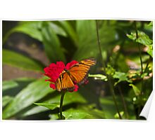 Heliconcus Chorelores butterfly Poster