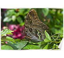 Morpho Butterfly. Poster