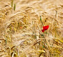 Red Poppy in yellow wheat field by Teus Renes