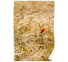 Red Poppy in yellow wheat field Poster