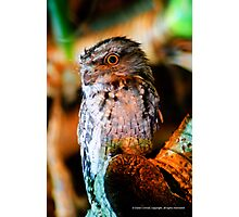 Tawny frog mouthed Owl  Photographic Print