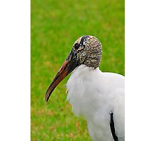 Wood Stork Photographic Print