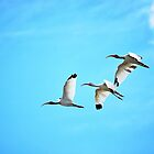 Three Ibis in Flight by joevoz
