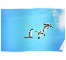 Three Ibis in Flight Poster