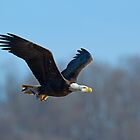 Bald Eagle by Rob Lavoie