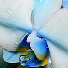 Drops on a blue orchid by tdash