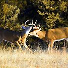 Sparring match - training to be the big buck by amontanaview
