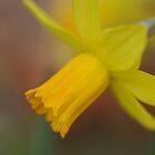 Soft Focus Daffodil by jayneeldred