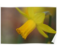 Soft Focus Daffodil Poster