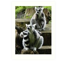 Ring Tailed Lemur Family Art Print