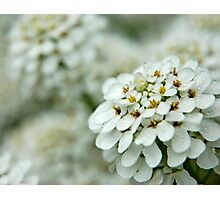 Alyssum Photographic Print