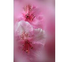 Rhododendron Dreams Photographic Print