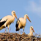 White Stork Nest in Sunset by Janika