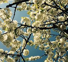 Cherry Tree by yvonnefrewin