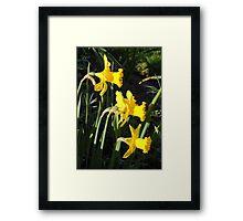 Chorus of Daffodils (Lent Lilies) Framed Print