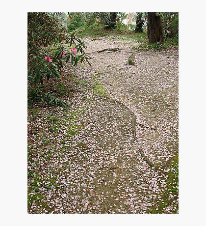 A River of Falling Cherry Blossom Petals Photographic Print