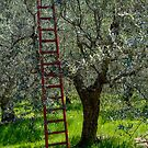 Red Ladder, olive pruning, Acquedotto Romano, Spello, Umbria, Italy by Andrew Jones