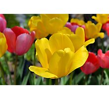 Pink and Yellow Garden Tulips Photographic Print