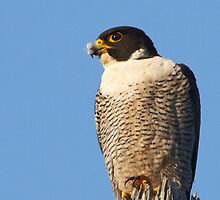 Peregrine Falcon ~ Natures Speed Machine  by Robert Elliott