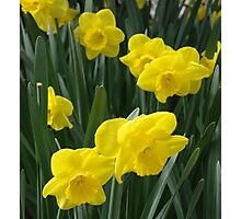 Sunny daffodils Photographic Print