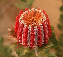 Scarlet Banksia by Haggiswonderdog