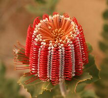 Scarlet Banksia by Georgina Steytler
