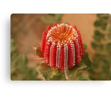 Scarlet Banksia Canvas Print