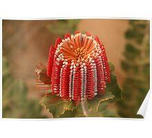 Scarlet Banksia Poster