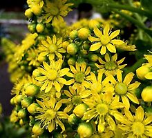 Aeonium flowers in closeup by Douglas E.  Welch