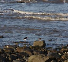 Oyster Catchers by Colin Bentham