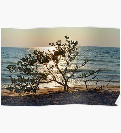 Tree on Coast at Sunset Poster
