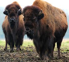 2 Bison by JEZ22