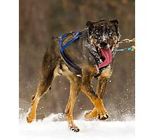 Sled Dog - Topaz Photographic Print