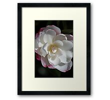 Blushing Camellia  Framed Print