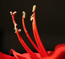 Dancing Amaryllis Fairies :) by karina5