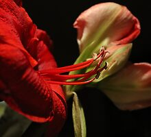 Amaryllis in the Limelight by karina5