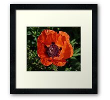 Big Red Poppy Framed Print