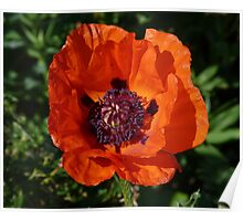 Big Red Poppy Poster