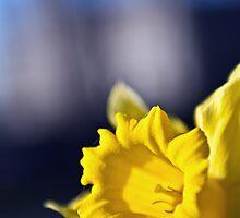 Daffodil by Asif Patel